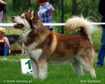 INT CH Multi CH SAGGI-TO REDBEAR Illa Kuvianartok - new VETERAN CHAMPION of Poland350